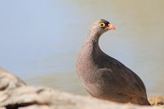 Red-billed Francolin - Wild Birds from Africa - Who are you ? Royalty Free Stock Image