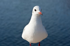 Red-billed gull (1). Closeup of a red-billed gull (1 Stock Images