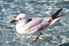 Red Billed Gull Stock Photography