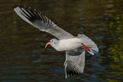 Free Red-billed Gull Royalty Free Stock Photos - 134009748