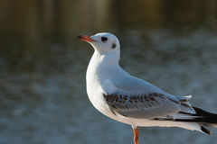 Red-billed gull (2). Closeup of a red-billed gull (2 Stock Photography