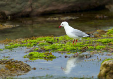 Free Red-Billed Gull Royalty Free Stock Photo - 21457905