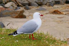 Red-billed Gull Royalty Free Stock Images