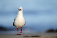 Red-billed Gull. Standing on beach Royalty Free Stock Photos