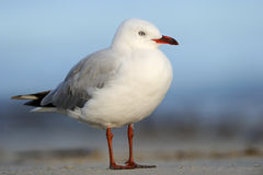 Red-Billed Gull. (Larus novaehollandiae) standing on beach Stock Image