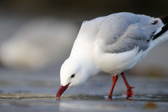 Red-Billed Gull. (Larus novaehollandiae) foraging on beach Stock Images