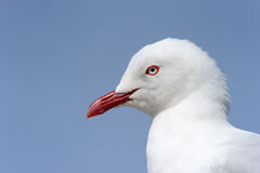 Red-Billed Gull. (Larus novaehollandiae) portrait Stock Photo