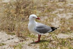 A red-billed gull on a beach in New Zealand royalty free stock image