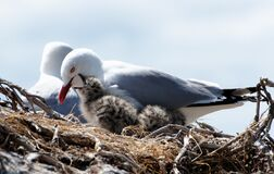 Red billed gull and chick. Royalty Free Stock Photos
