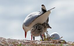 Red billed gull and chick. Royalty Free Stock Images