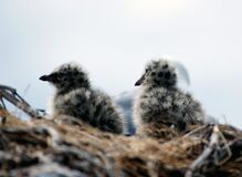 Red billed gull  chicks. Royalty Free Stock Photography