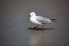 Red-billed Gull (Chroicocephalus scopulinus) Royalty Free Stock Photography