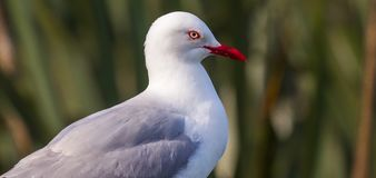 Red Billed Gull. Close Facial Portrait Of A Red-Billed Gull Highlighting Its Red Eye Ring And Bill, Otago Peninsula, South Island, New Zealand Royalty Free Stock Photo