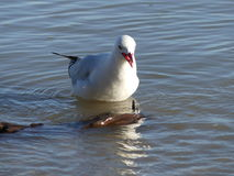 Red Billed Gull eating. Red Billed Gull - native to New Zealand, having a snack stock photography