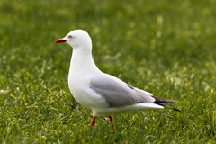 Red-billed Gull foraging in green grass Stock Photography