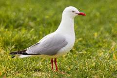 Red-billed Gull foraging in green grass Royalty Free Stock Image