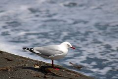 Red-billed gull, larus novaehollandiae edge of sea Royalty Free Stock Images