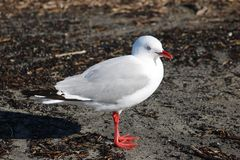 Red-billed gull, larus novaehollandiae on seashore Royalty Free Stock Photography