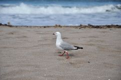 Red-billed gull stock photography