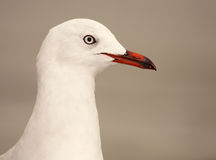 Red-billed Gull Portrait Stock Image