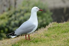 Red-billed Gull. On the North Island, New Zealand royalty free stock photography