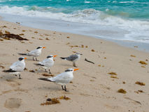 Red-billed gull Stock Photos