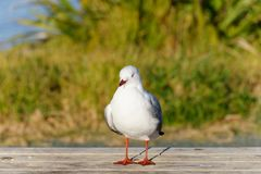 A red billed gull standing on a table outside stock photos