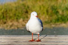 A seagull with head slightly turned to the side, standing on a wooden table stock image