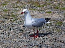 Red billed gull stands on the shingle beach in Wellington, New Zealand royalty free stock images