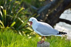 A Red-billed Gull yawning Stock Photography
