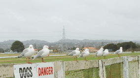 Red-billed gulls on the fence. Seven gulls perched on a fence Royalty Free Stock Photos