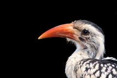 Red Billed Hornbill Stock Photos