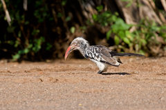 Red-billed Hornbill. In Kruger National Park, Southern Africa Stock Photos
