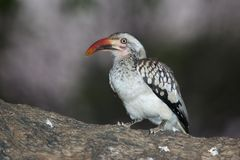 Red-Billed Hornbill Stock Photo