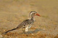 Red-billed hornbill. In late afternoon sunlight; Tockus erythrorhynchus stock photos