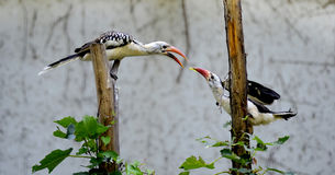 Red-billed Hornbill Stock Photos