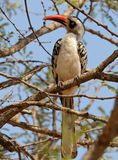 Red-Billed Hornbill Stock Images