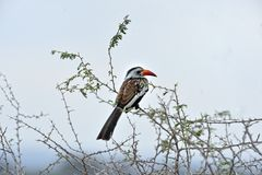Red-billed Hornbill Royalty Free Stock Photos