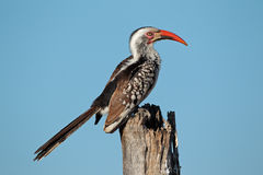 Red-billed hornbill. (Tockus erythrorhynchus) perched on a branch, South Africa Royalty Free Stock Photo