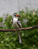 Red-billed Hornbill Stock Image