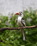 Red-billed Hornbill Stock Photography