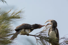 Red-billed Hornbill fighting with their beak Stock Photo