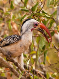 Red-billed Hornbill with fruit Stock Images