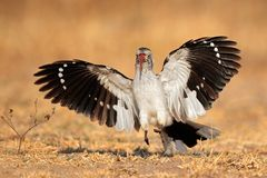 Red-billed hornbill landing Royalty Free Stock Image