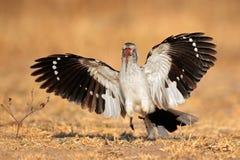 Red-billed hornbill landing royalty free stock image