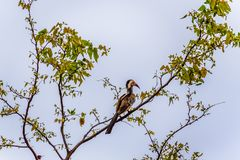 Red-Billed Hornbill perched on a tree branch in Kruger National Park Royalty Free Stock Photography