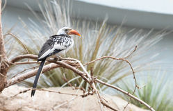 Red billed hornbill Royalty Free Stock Photos