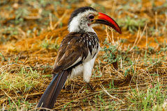 Red Billed Hornbill Royalty Free Stock Images