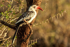 Red Billed Hornbill Stock Images