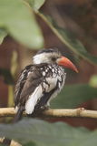 Red-billed hornbill Royalty Free Stock Photos